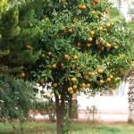 Фото-Апельсины везде- Турция-заказать картину-пейзаж