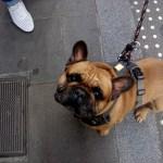 Собаки города Барселоны )