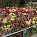 Цветы, цветы,цветы... Монтсеррат 1