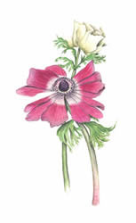 111307_lois-jackson-botanical-artwork