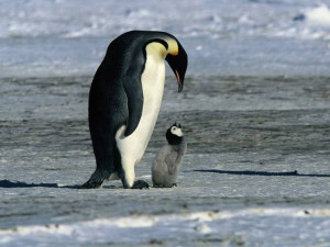 122413_penguins