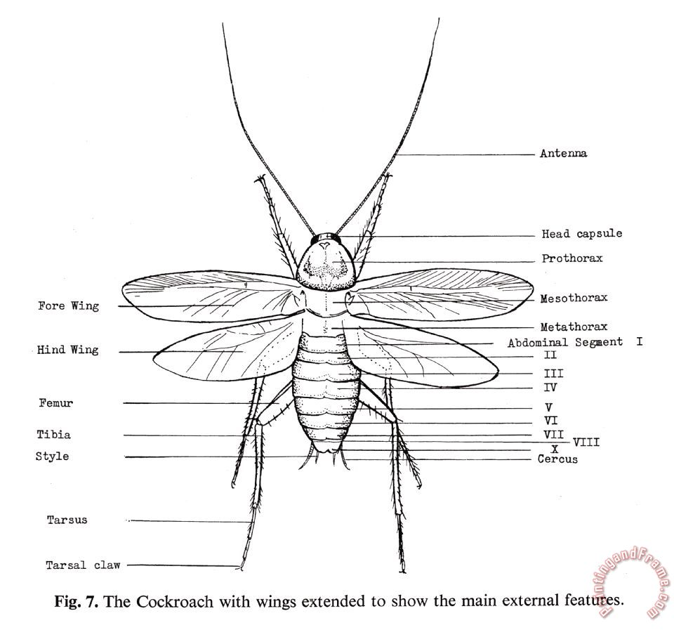 hight resolution of images of cockroach diagram