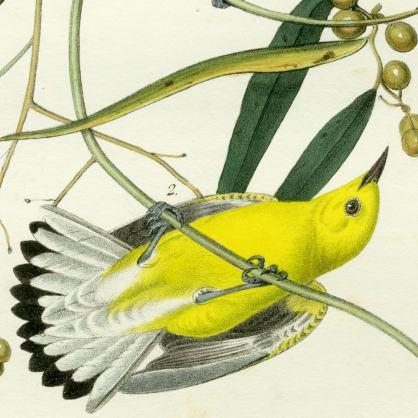 Джон Одюбон, птицы