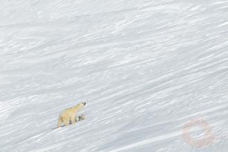 Фотограф Сергей Горшков, Белый медведь
