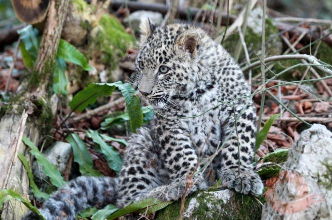 Фотограф Умар Семёнов, леопард