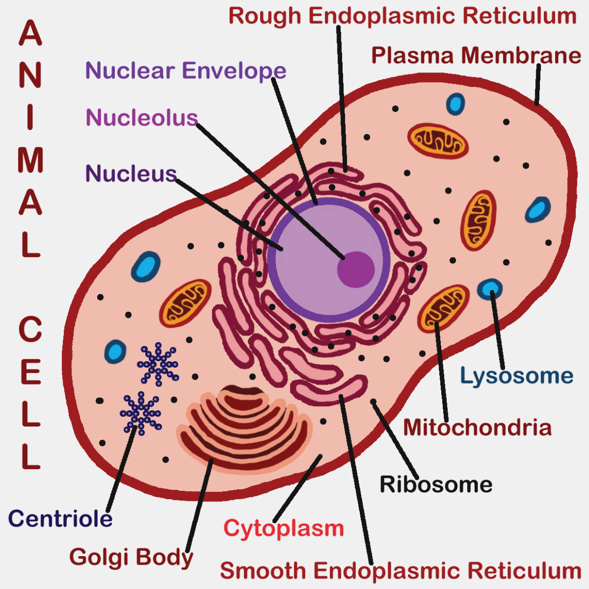 hight resolution of 1164x1164 drawing of animal cell animal cell drawing labeled the diagram animal cell drawing