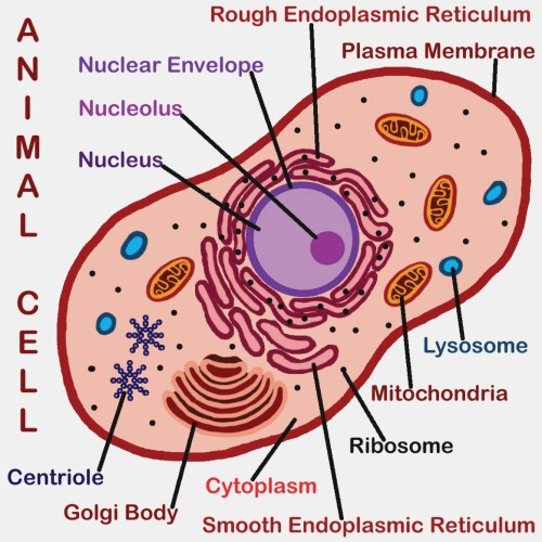 small resolution of 1164x1164 drawing of animal cell animal cell drawing labeled the diagram animal cell drawing