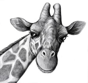animals drawings pencil realistic animal drawing sketches sketch giraffe easy flowers ajilbab draw explore face basic monkey paintingvalley shading found