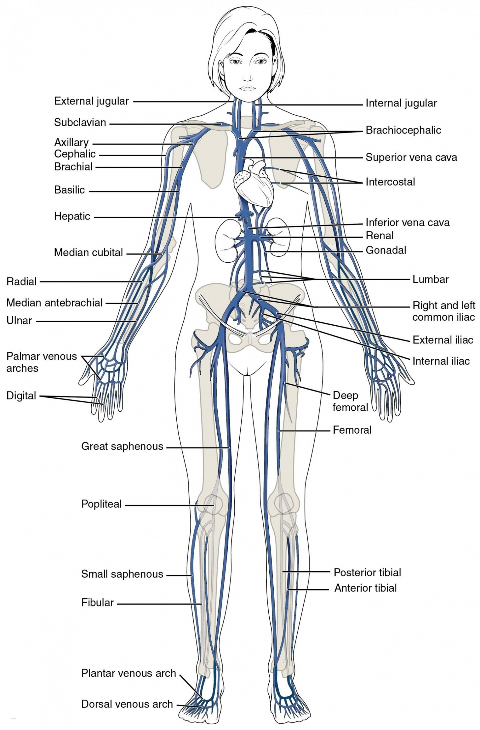 hight resolution of blank leg diagram