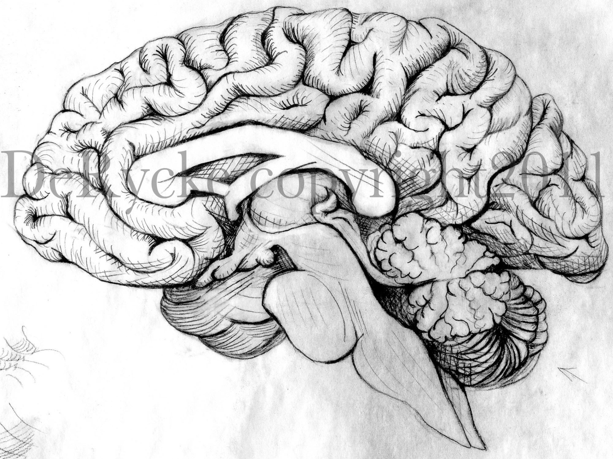 hight resolution of brain pencil drawing