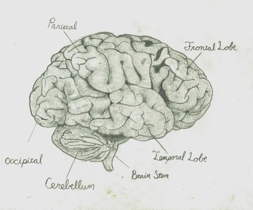 small resolution of brain pencil drawing