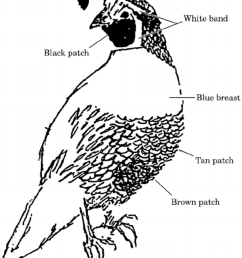 850x1052 measured plumage characteristics of male california quail for all california quail drawing [ 850 x 1052 Pixel ]