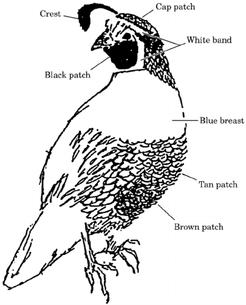 hight resolution of 850x1052 measured plumage characteristics of male california quail for all california quail drawing