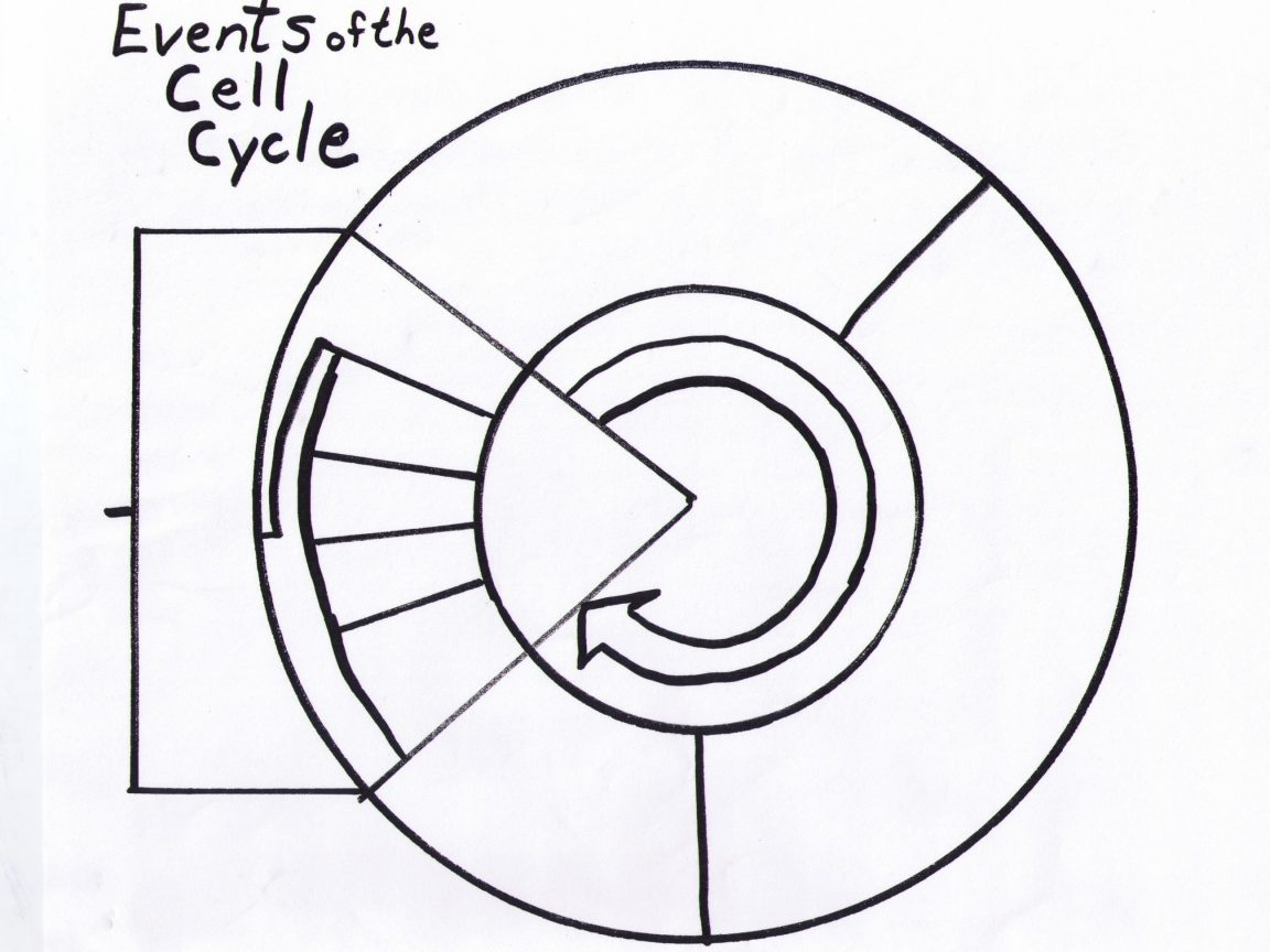 Cell Cycle Drawing Worksheet at PaintingValley.com