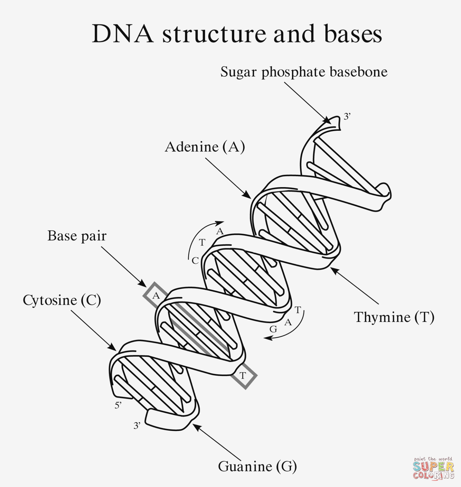 Labeled Dna Structure Worksheet