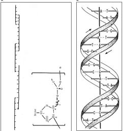 1635x1800 the discovery of hydrogen bonds in dna and a re evaluation dna model drawing [ 1635 x 1800 Pixel ]
