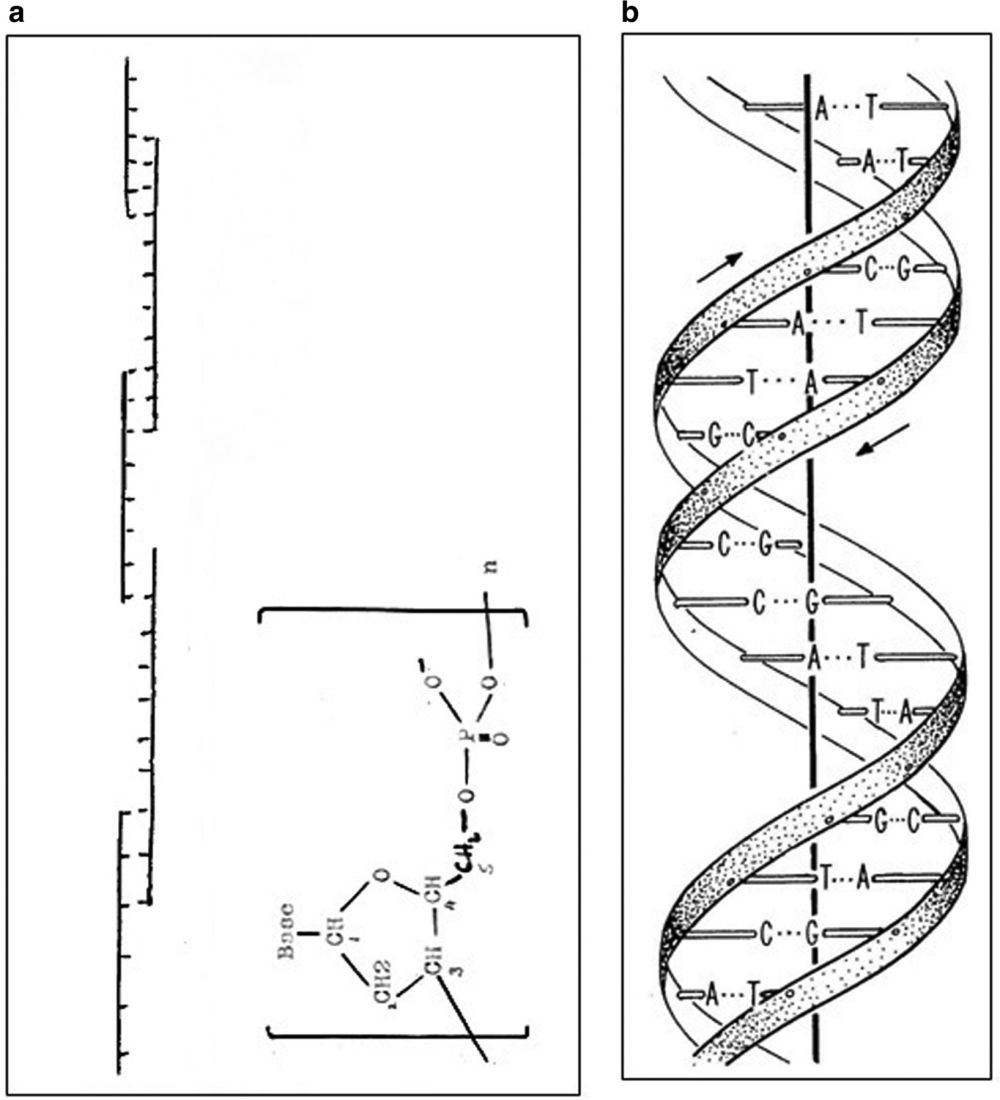 medium resolution of 1635x1800 the discovery of hydrogen bonds in dna and a re evaluation dna model drawing
