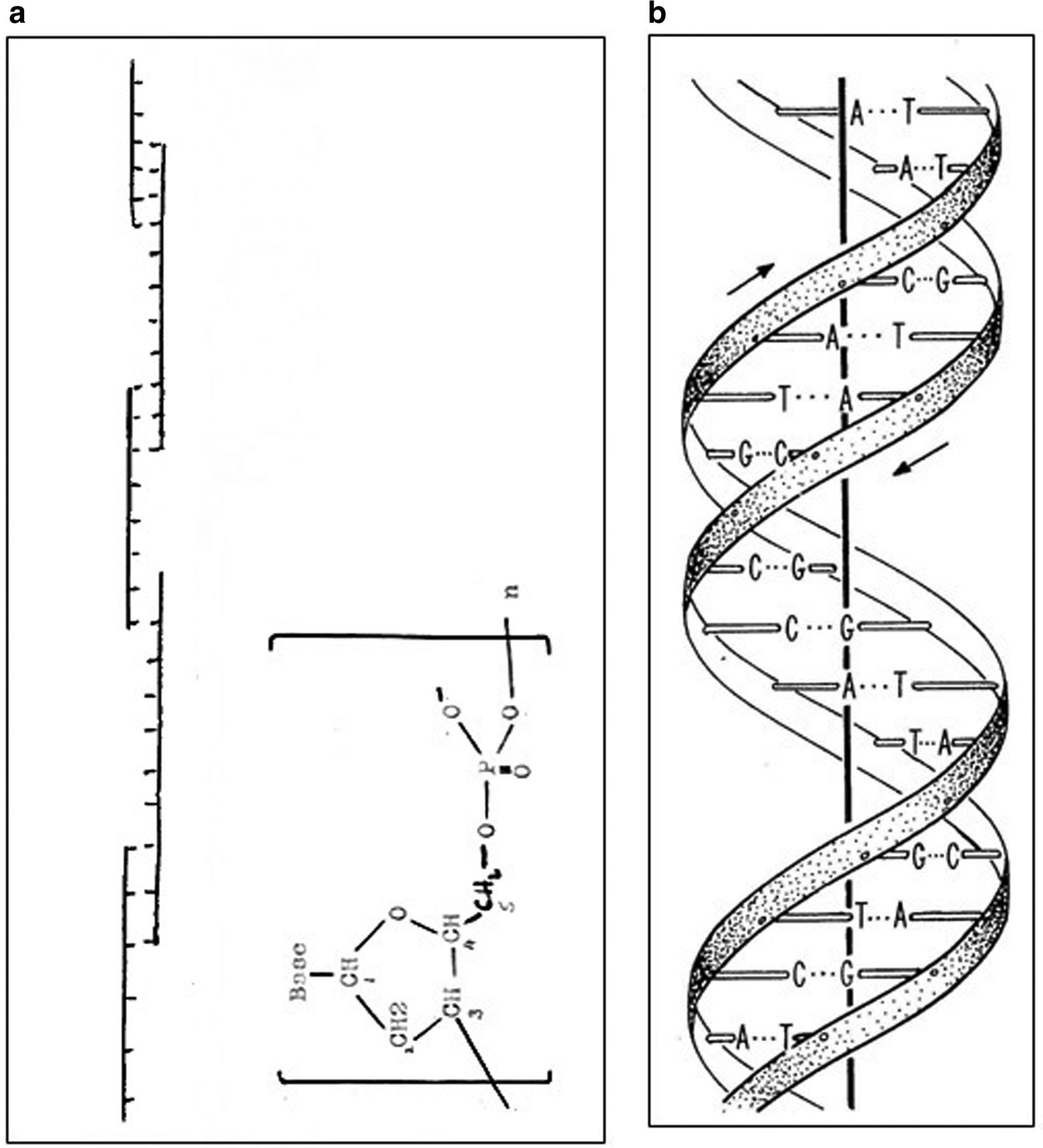 hight resolution of 1635x1800 the discovery of hydrogen bonds in dna and a re evaluation dna model drawing