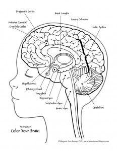 Drawing Of The Brain With Labels at PaintingValley.com