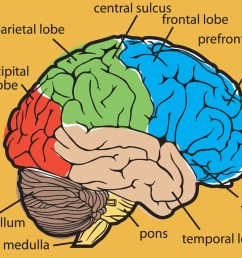 1200x937 brain food drawing of the brain with labels [ 1200 x 937 Pixel ]