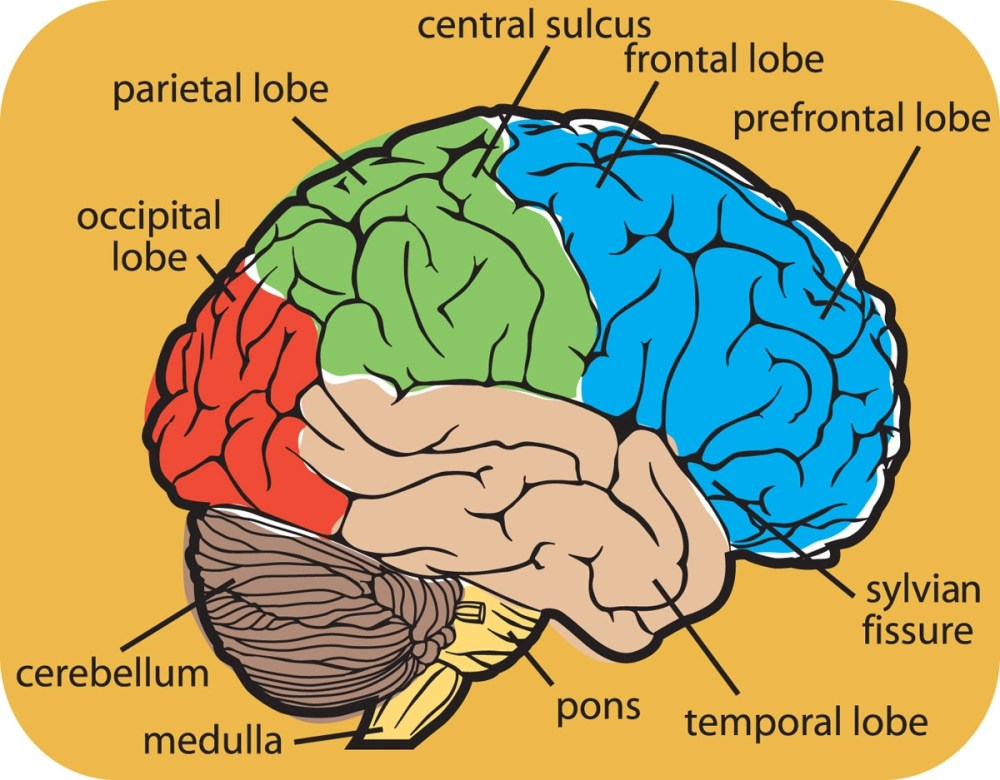 medium resolution of 1200x937 brain food drawing of the brain with labels