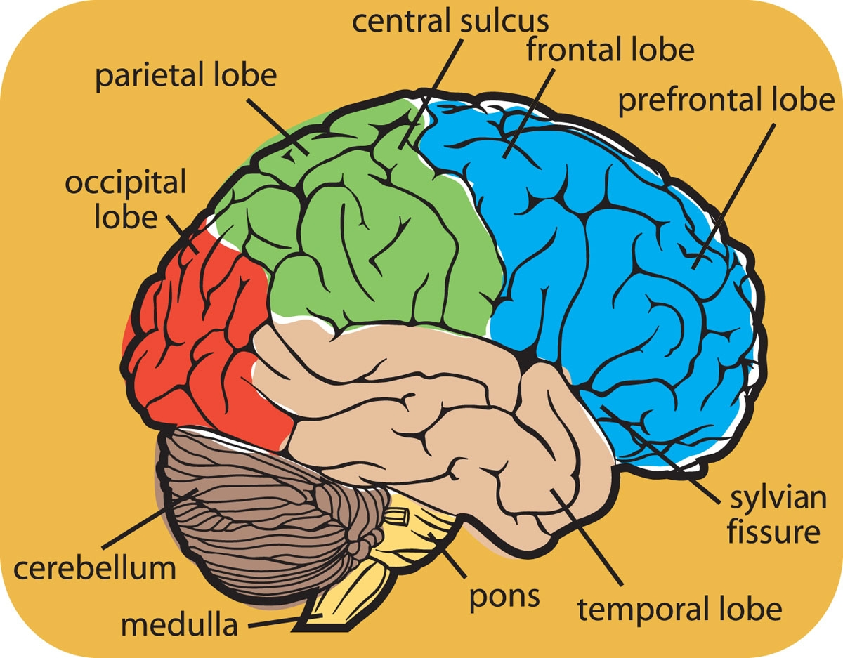 hight resolution of 1200x937 brain food drawing of the brain with labels