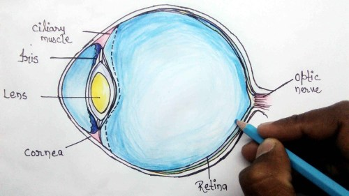 small resolution of 1280x720 how to structure of human eye step eye anatomy drawing