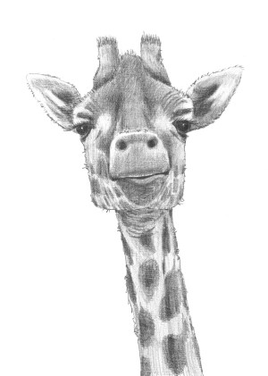 giraffe drawing drawings face sketch pencil animal head sketches giraffes google african animals paintingvalley paintings david smith turtle sketching chalk