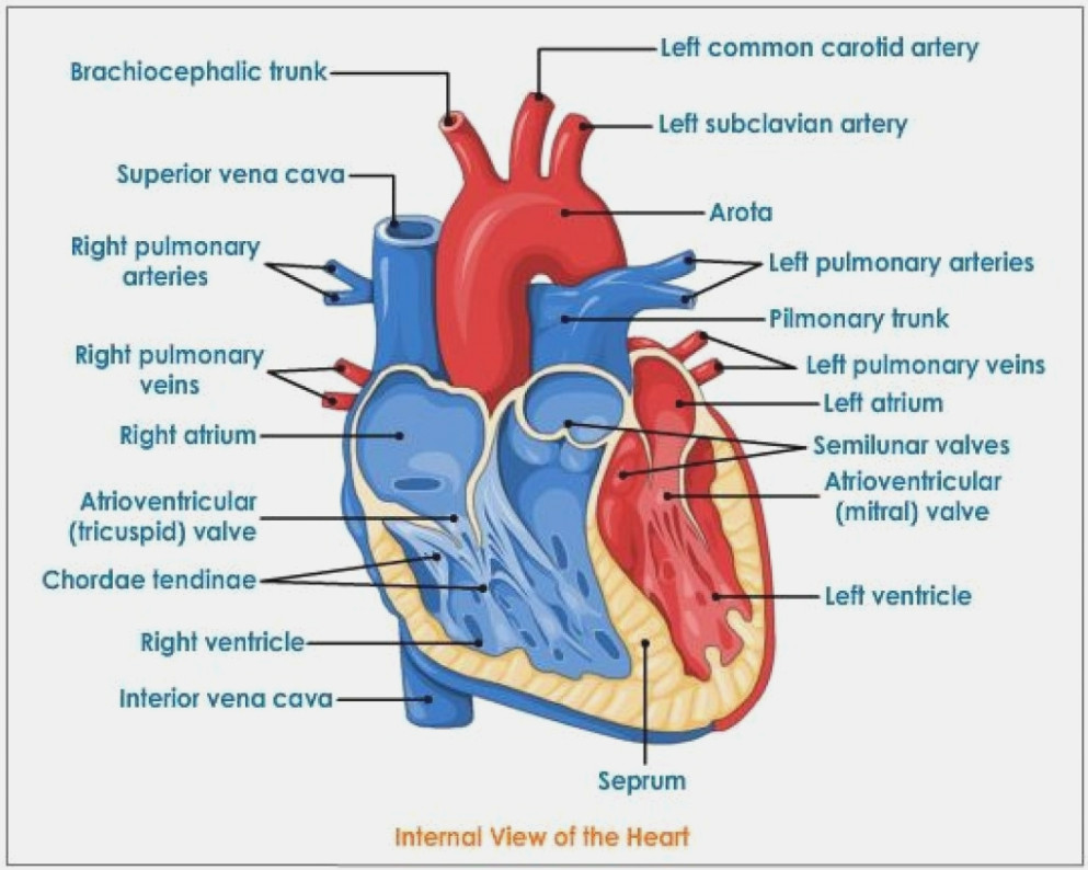 medium resolution of 993x794 how will how to draw heart diagram be in diagram information heart diagram drawing