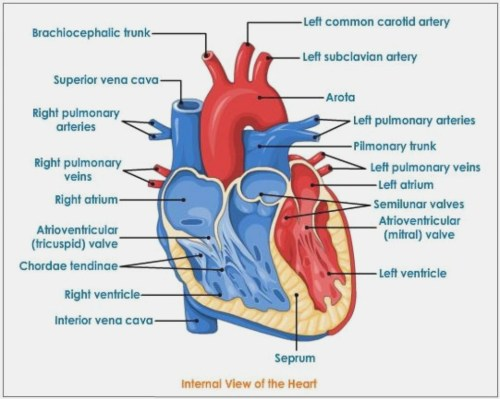 small resolution of 993x794 how will how to draw heart diagram be in diagram information heart diagram drawing