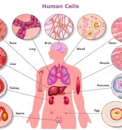 1222x912 human body cells pictures human cell drawing [ 1222 x 912 Pixel ]