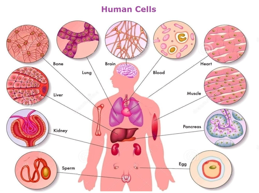 medium resolution of 1222x912 human body cells pictures human cell drawing