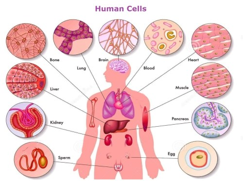 small resolution of 1222x912 human body cells pictures human cell drawing