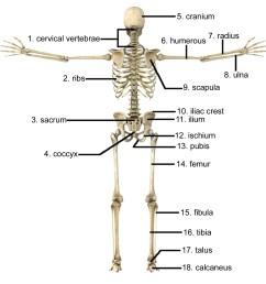1597x1564 skeletal system not labeled skeletal system not labeled human human skeletal system drawing [ 1597 x 1564 Pixel ]