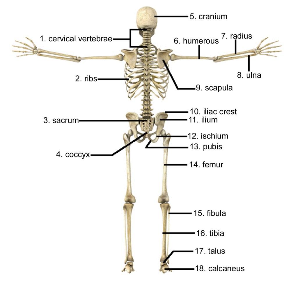 medium resolution of 1597x1564 skeletal system not labeled skeletal system not labeled human human skeletal system drawing