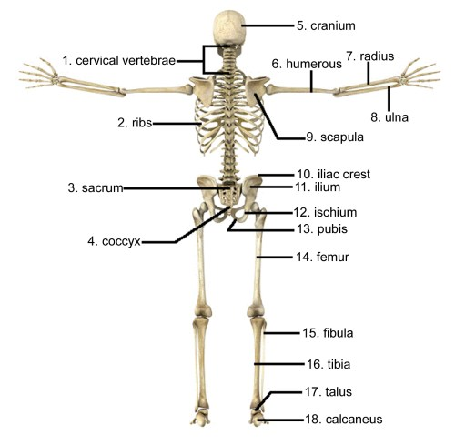 small resolution of 1597x1564 skeletal system not labeled skeletal system not labeled human human skeletal system drawing