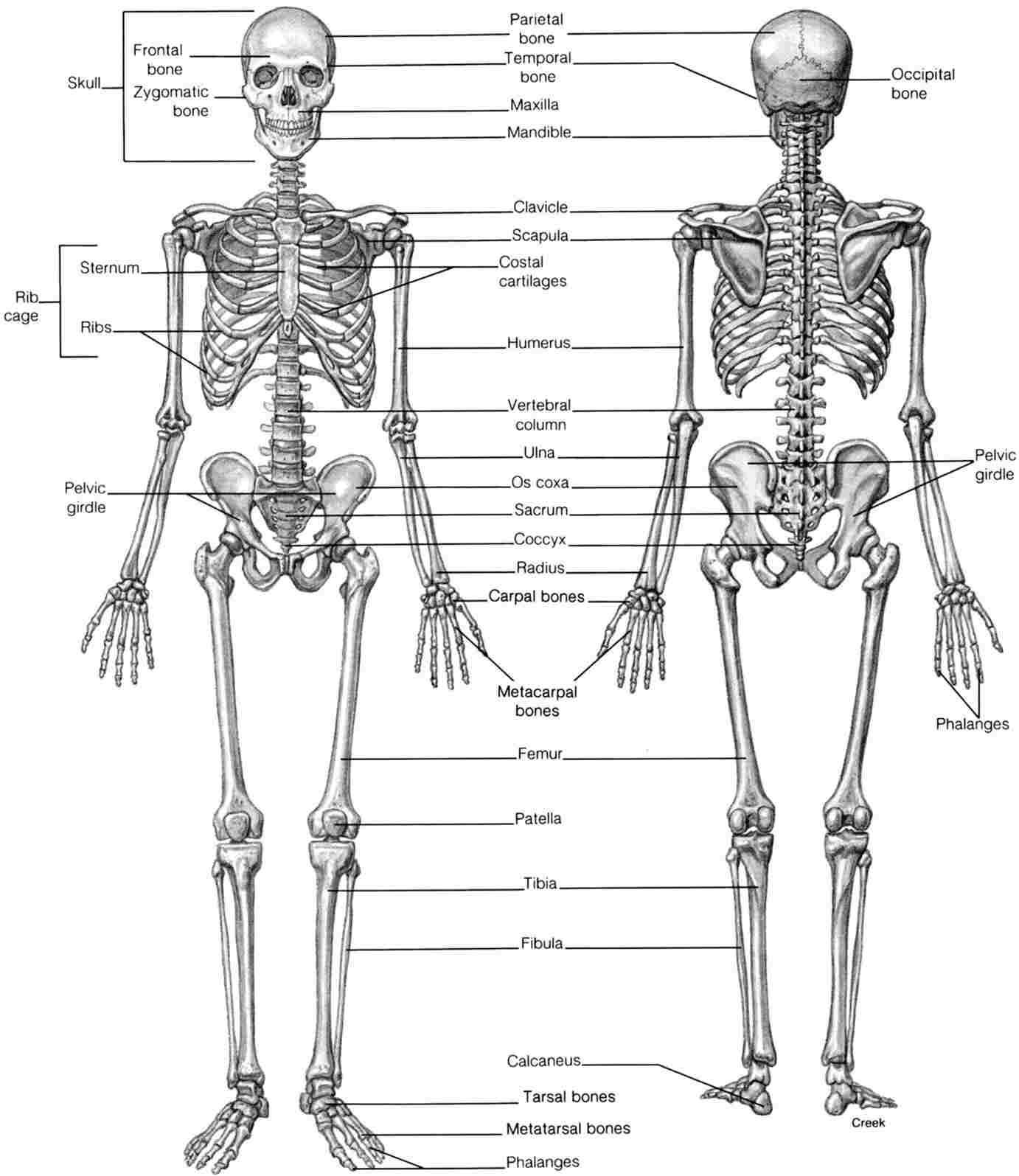 Diagram Of Skeletal System