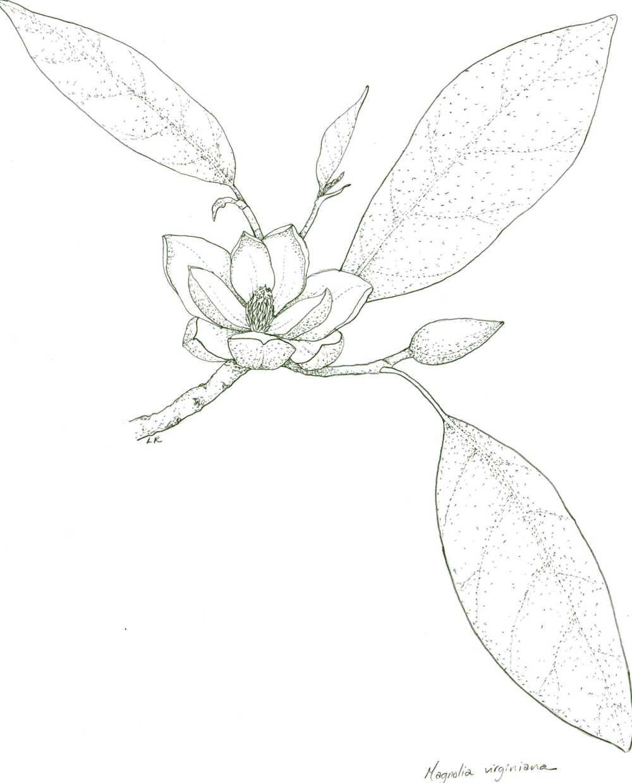 medium resolution of 1920x2382 magnolia drawing magnolia leaf for free download magnolia leaf drawing