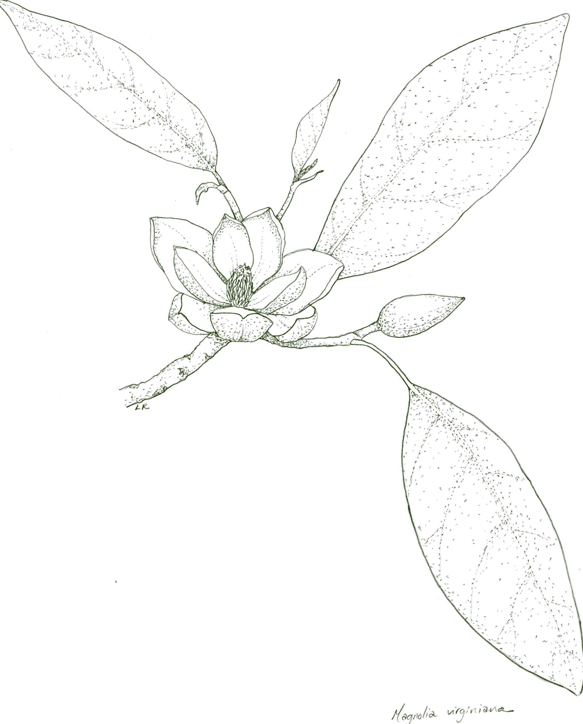 hight resolution of 1920x2382 magnolia drawing magnolia leaf for free download magnolia leaf drawing