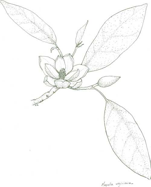 small resolution of 1920x2382 magnolia drawing magnolia leaf for free download magnolia leaf drawing