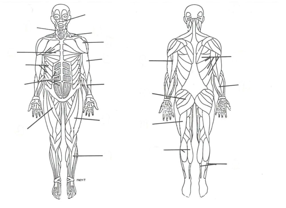 medium resolution of 1755x1275 muscular system without labels human anatomy study muscle muscular system drawing