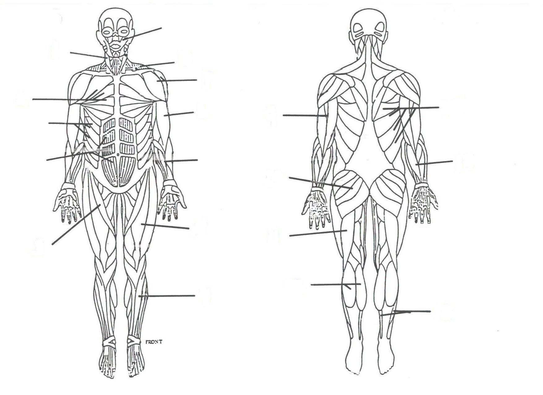 hight resolution of 1755x1275 muscular system without labels human anatomy study muscle muscular system drawing