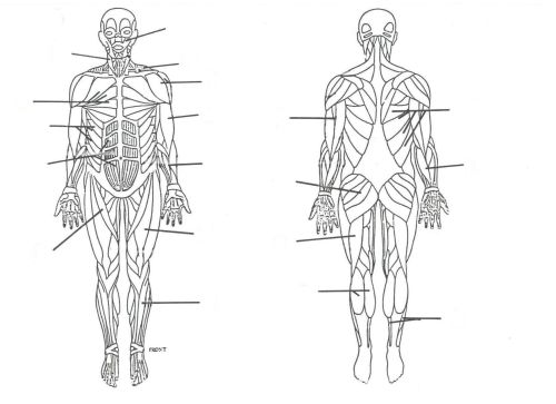 small resolution of 1755x1275 muscular system without labels human anatomy study muscle muscular system drawing