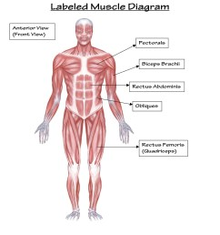 1275x1650 structure of muscular system and its functions muscular system muscular system drawing [ 1275 x 1650 Pixel ]