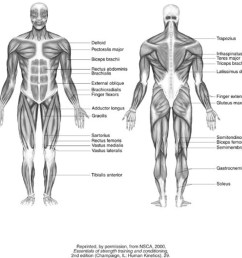 1024x984 blank muscle diagram to label and muscle system diagram drawing muscular system drawing [ 1024 x 984 Pixel ]
