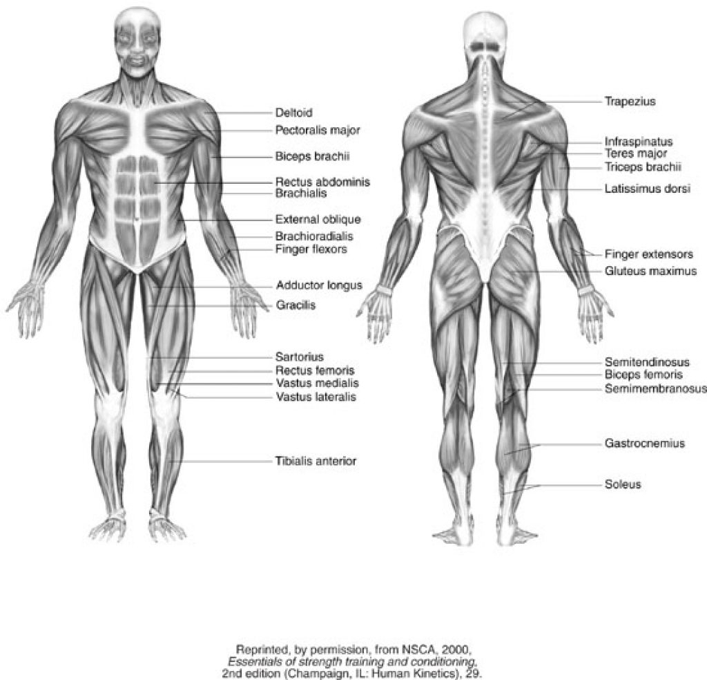 hight resolution of 1024x984 blank muscle diagram to label and muscle system diagram drawing muscular system drawing