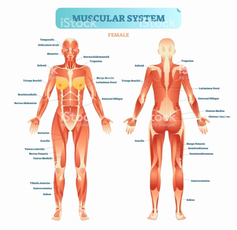 medium resolution of 1024x995 diagram of muscular system best of collection of muscle system muscular system drawing