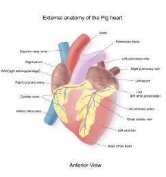 900x900 exterior anatomy of a pig heart pig heart drawing [ 900 x 900 Pixel ]