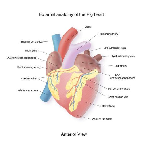 small resolution of 900x900 exterior anatomy of a pig heart pig heart drawing