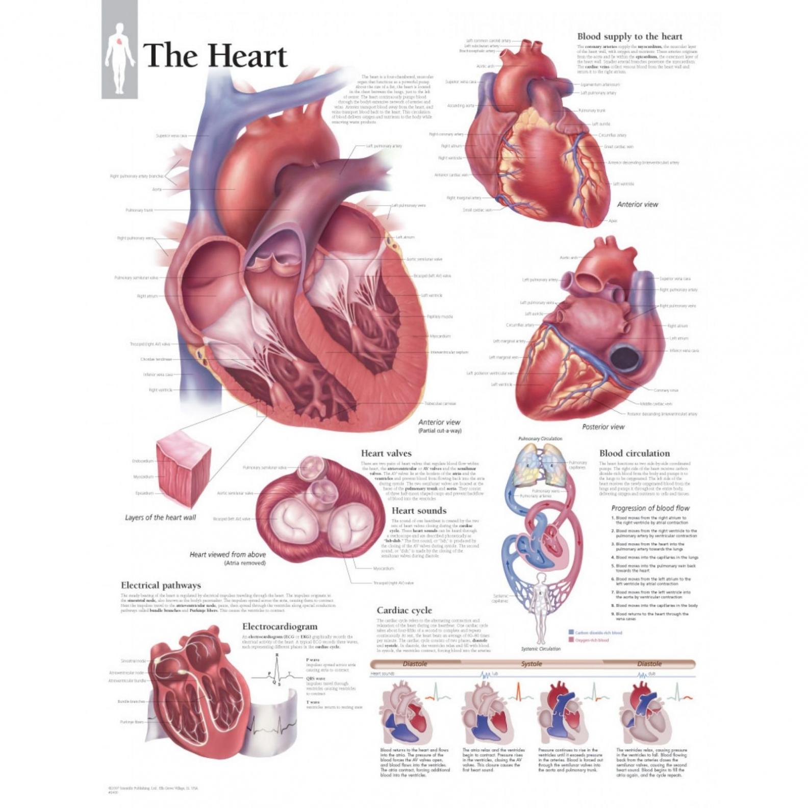 hight resolution of 1584x1584 fetal pig heart diagram pig heart drawing at getdrawings air pig heart drawing
